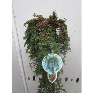 Cotoneaster pr. Streibs Findling