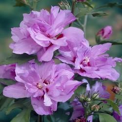 Hibiscus syriacus 'Ardens' 60 cm stam