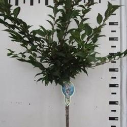 Prunus incisa Cunera