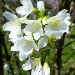Prunus incisa Fujiyama
