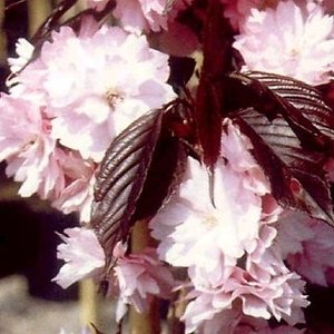 Prunus Ser. Royal Burgundy