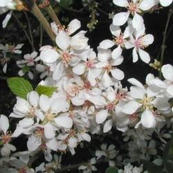Prunus Tomentosa Orient