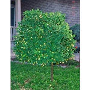Caragana frutex Globosa