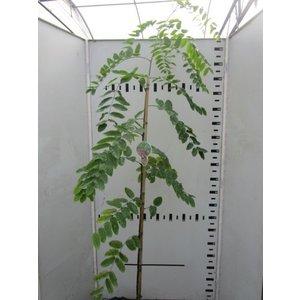 Robinia margaretta Casque Rouge spil