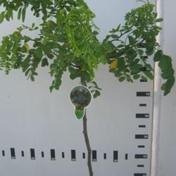 Robinia Tortuosa