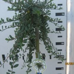 Salix repens Iona