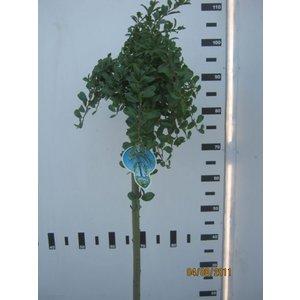 Salix simulatrix