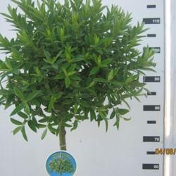 Salix subopposita