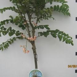 Sorbus Pink Veil