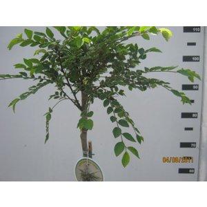 Ulmus parvifolia Geisha