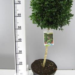 Buxus bol op stam 40cm