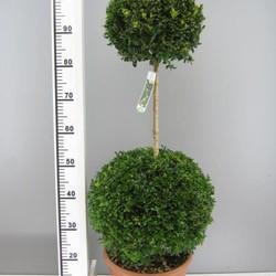Buxus Duobol 50cm