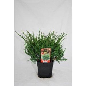 Juniperus media Mint Julep.