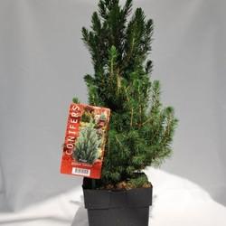 Picea g. Conica