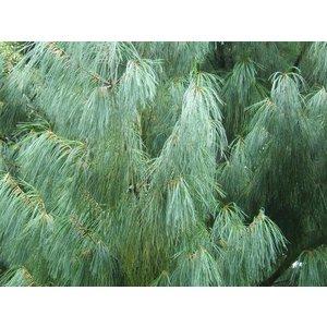 Pinus Wallichiana Densa