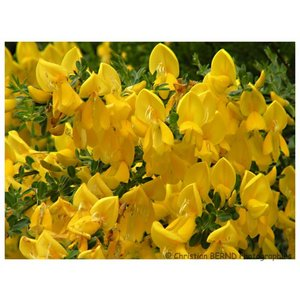 Cytisus 'Golden Tears' Struik