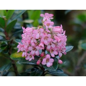 Escallonia 'Edinensis'