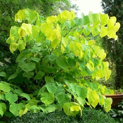 Cercis can. 'Heart's of Gold'