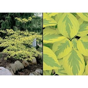Cornus alt. Golden Shadows