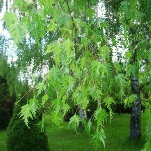 Betula  pend. 'Laciniata'
