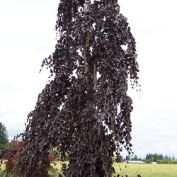 Fagus syl. 'Purple Fountain'