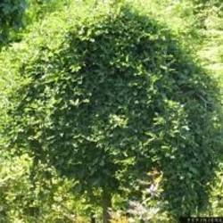 Fagus sylvatica 'Rohan Green Weeping'