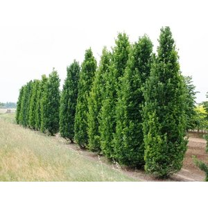 Quercus robur 'Fastigiate Koster'
