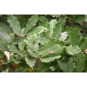 Quercus turneri 'Pseudoturneri'