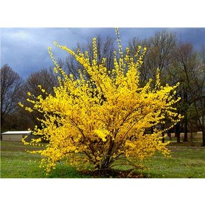 Forsythia int. 'Lynwood'