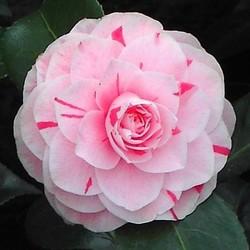 Camellia Jap. Bonomiana Nova