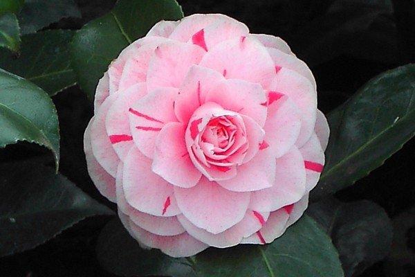 Camellia Jap Bonomiana Nova Kopen Bij Tuincentrum