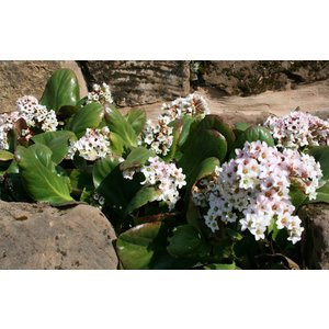Bergenia 'Bressingham White' wit