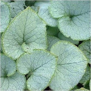 Brunnera mac. 'Looking Glass'