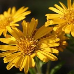 Coreopsis lan. 'Sterntaler'geel