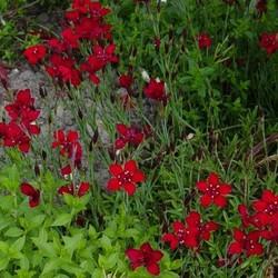 Dianthus delt. 'Flashing Light'rood