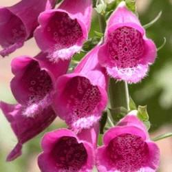 Digitalis purp. 'Gloxiniiflora'meng