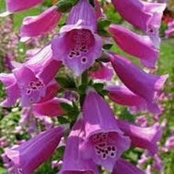 Digitalis purpurea roze
