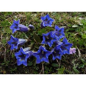 Gentiana acaulis diepblauw
