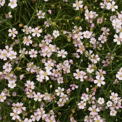 Gypsophila repens wit/lroze
