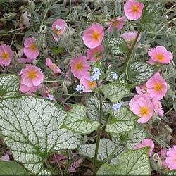 Helianthemum 'Rhodanthe Carneum'
