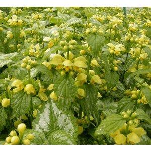 Lamiastrum gal. 'Florentinum' geel