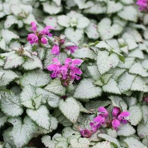 Lamium mac. 'Beacon Silver' lila