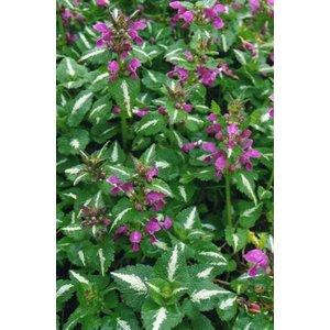 Lamium mac. 'Roseum' roze