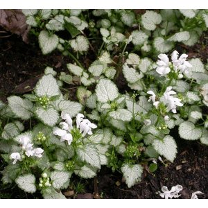 Lamium mac. 'White Nancy' wit