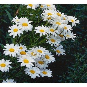 Leucanthemum (S) 'Silberprinzessche