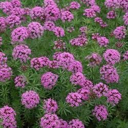 Phuopsis stylosa roze