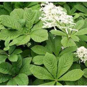 Rodgersia aesculifolia witroze