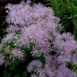 Thalictrum aquilegifolium lila