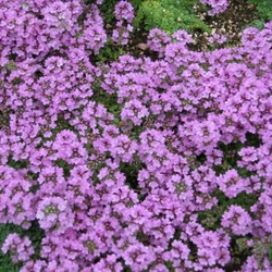 Thymus serpyllum paarsroze