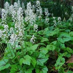 Tiarella cordifolia wit